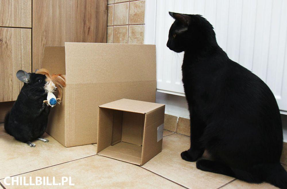 10 podobieństw kota i szynszyli - szynszyle - chillbill