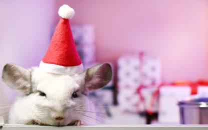 10 pomysłów na prezent dla szynszyli