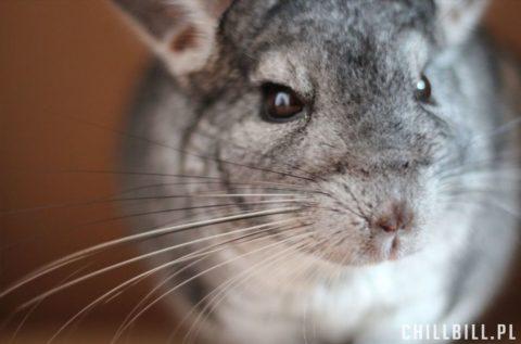 28 mniej znanych faktów o szynszylach - szynszyle - chillbill