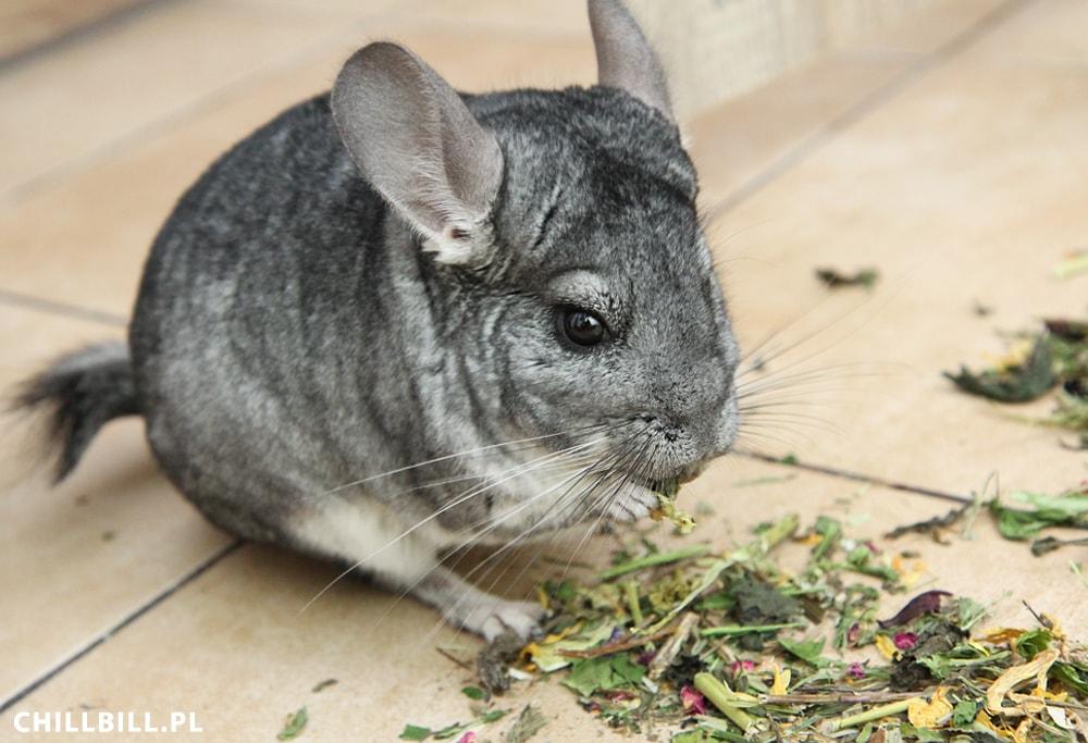 Szynszyle testują Gryziółka od Herbal Pets