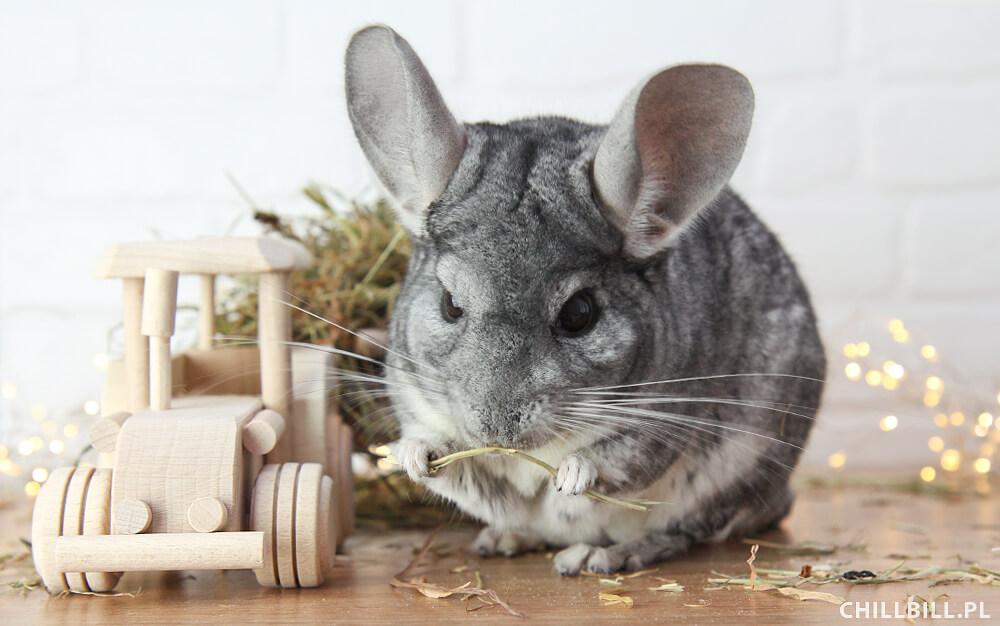 Siano dla szynszyli - podstawa ich diety