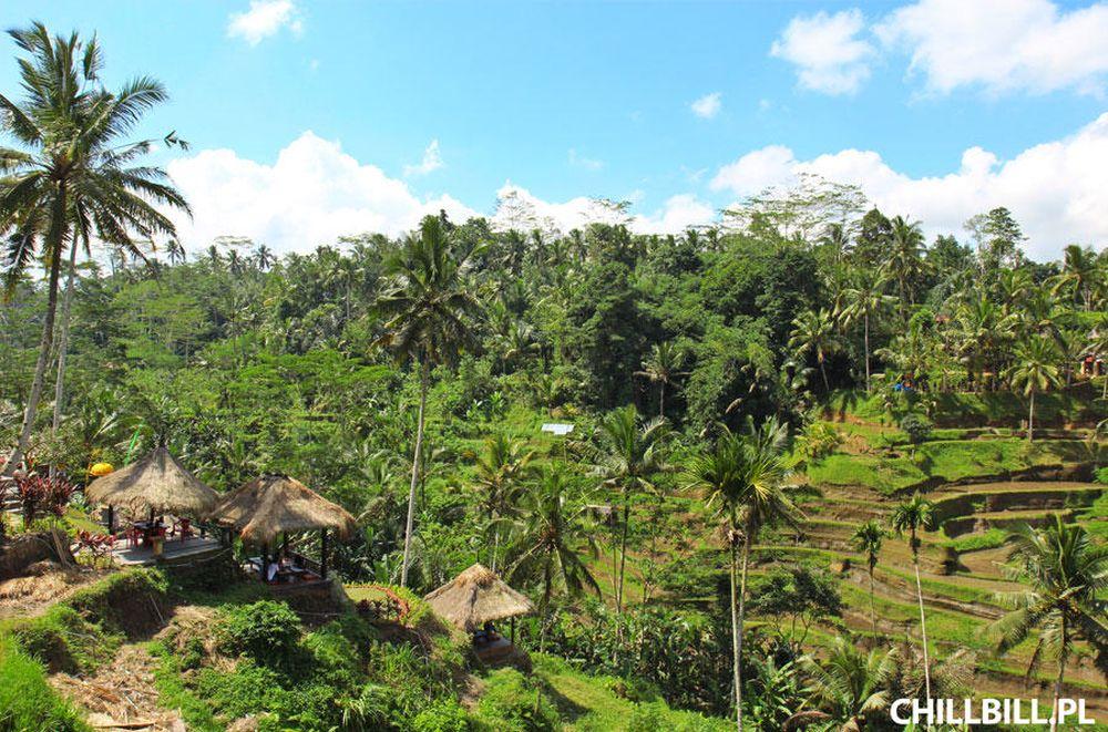 Szynszyle oraz inne zwierzęta na wyspie Bali - szynszyle - chillbill