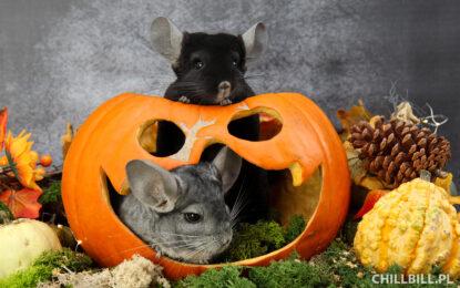 Szynszylowe Halloween