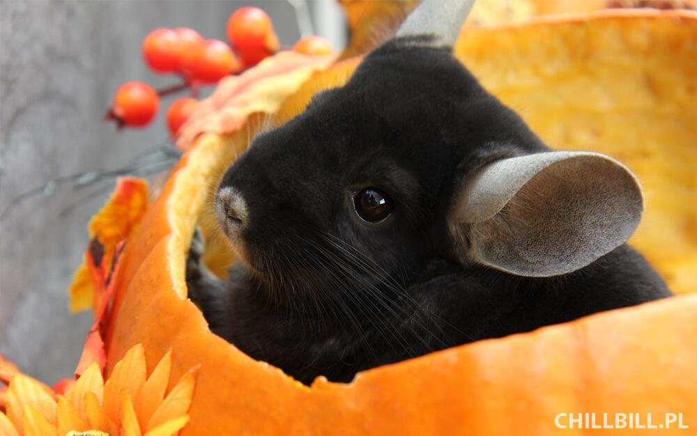 Szynszylowe Halloween - portret szynszyli w dyni