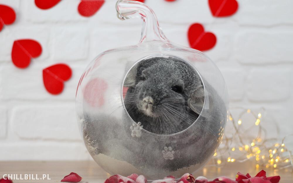 Szynszylowe Walentynki - kąpiel Billusia