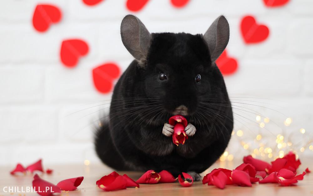 Szynszylowe Walentynki - Billy i dekoracje