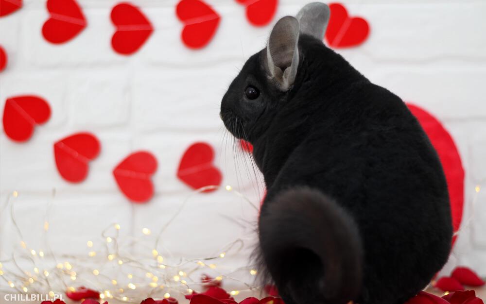 Szynszylowe Walentynki - szynszyle