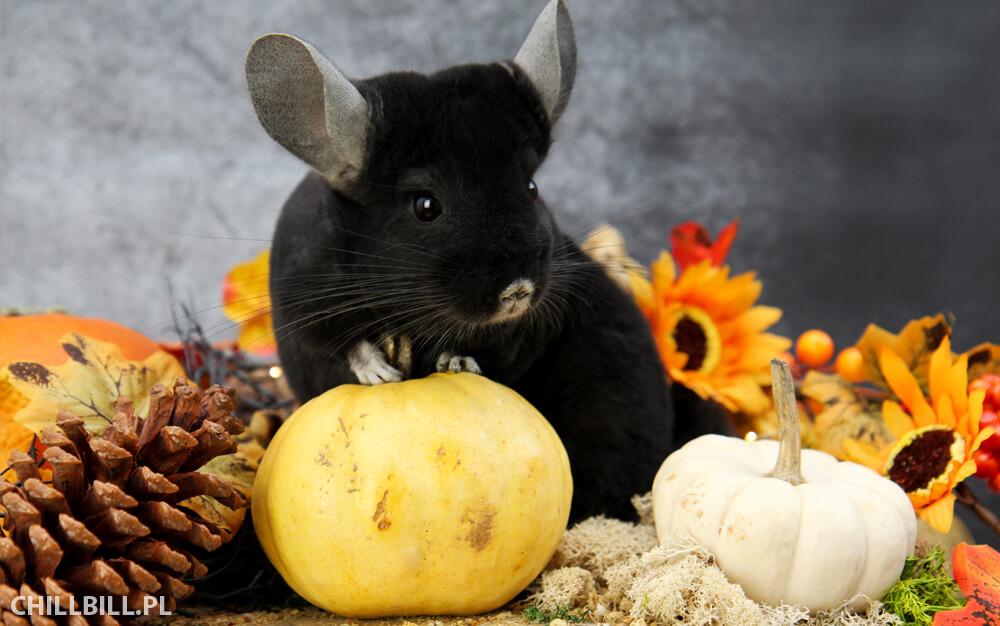 Szynszylowe Halloween - mroczna szynszyla Billy