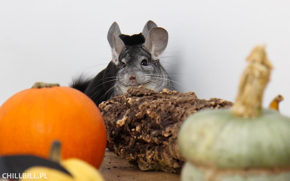 Szynszylowe Halloween - szynszyle na Halloween