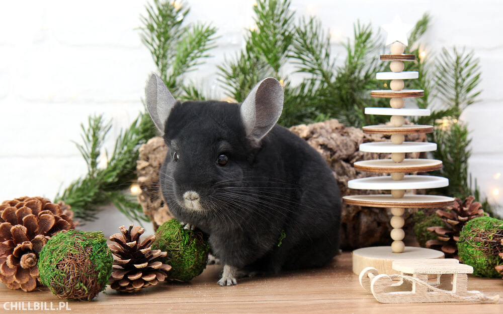 świąteczna szynszyla