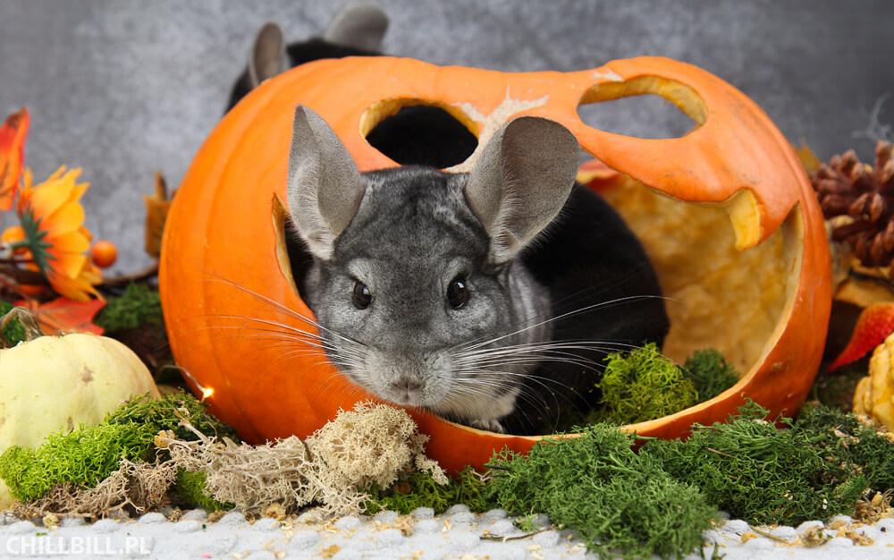 Szynszylowe Halloween - szara szynszyla w dyni