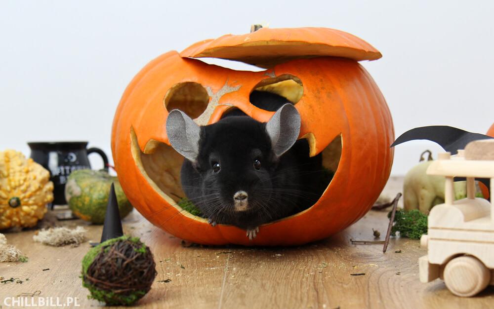 Szynszylowe Halloween - czarna szynszyla w dyni na Halloween