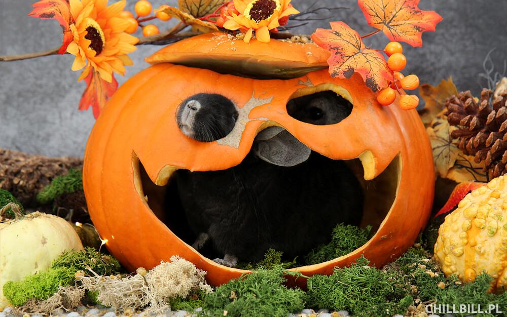 Szynszylowe Halloween - szynszylowy pyszczek w dyni