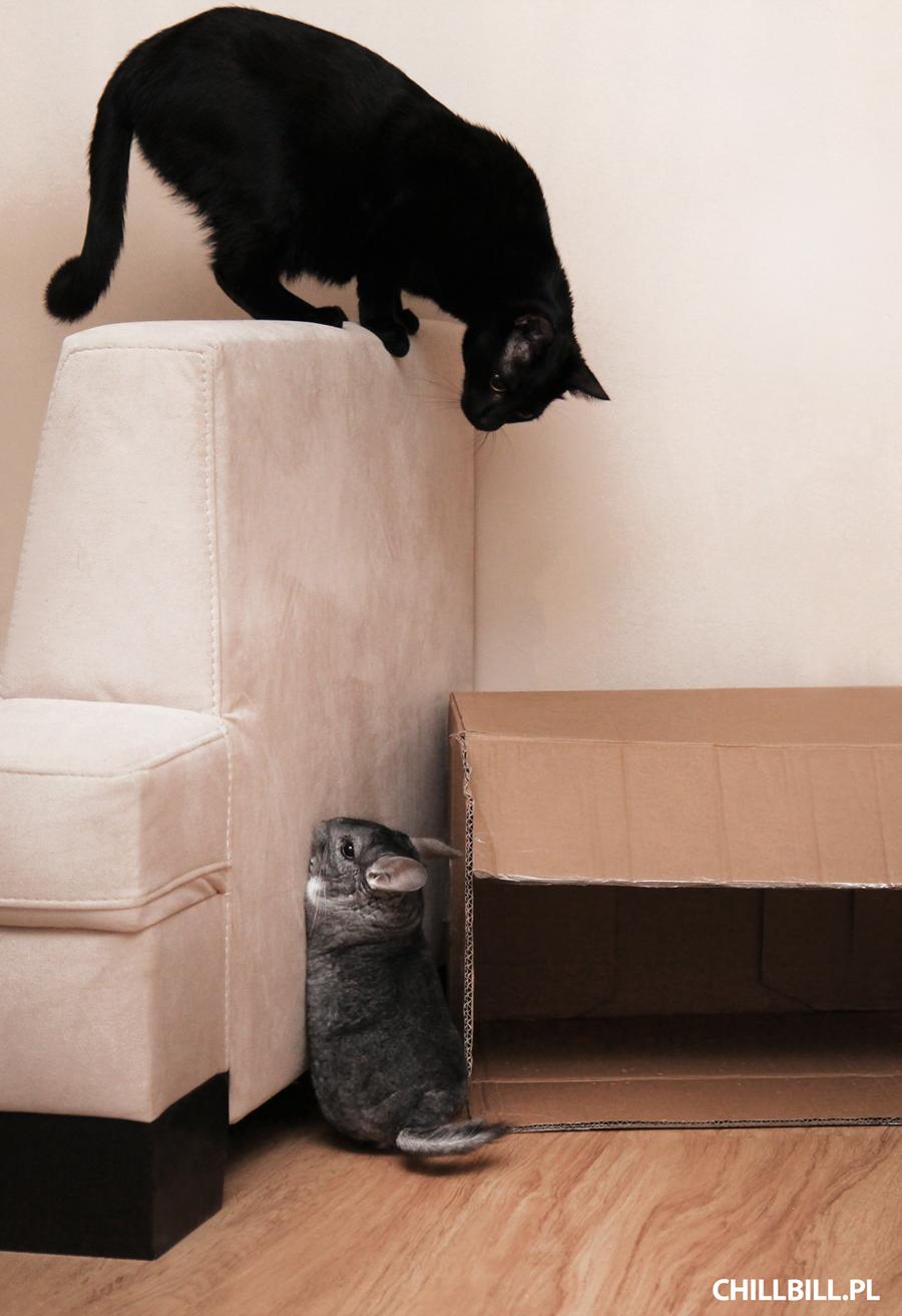 kot i szynszyle pod jednym dachem