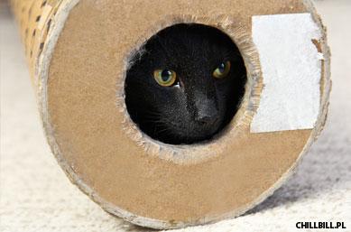 10 podobieństw kota i szynszyli