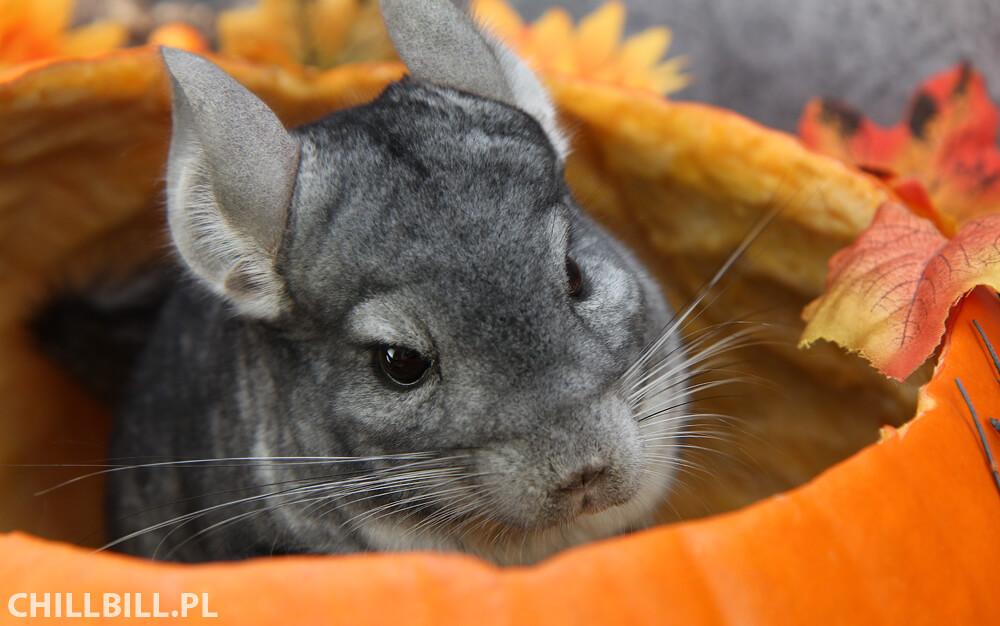 Szynszylowe Halloween - szynszyl w dyni