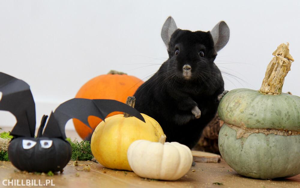 Szynszylowe Halloween - Billy z dyniami