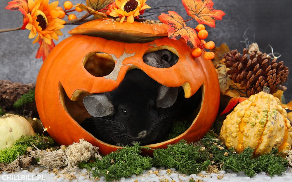 Szynszylowe Halloween - szynszyle w dyni
